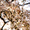 Cherry Blossoms, #2.