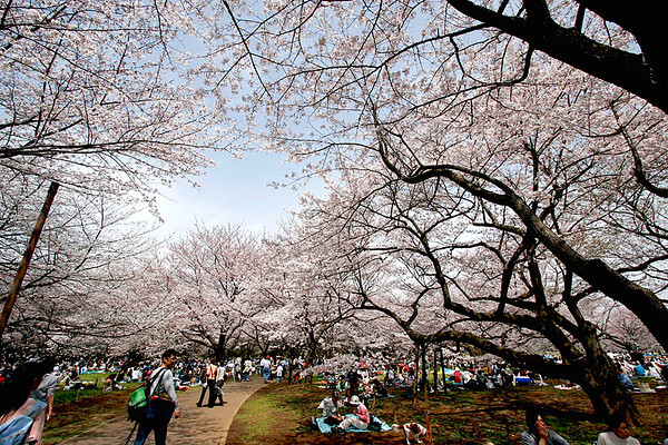 Cherry Blossoms and viewers, Showa Park west of Tokyo; #3.
