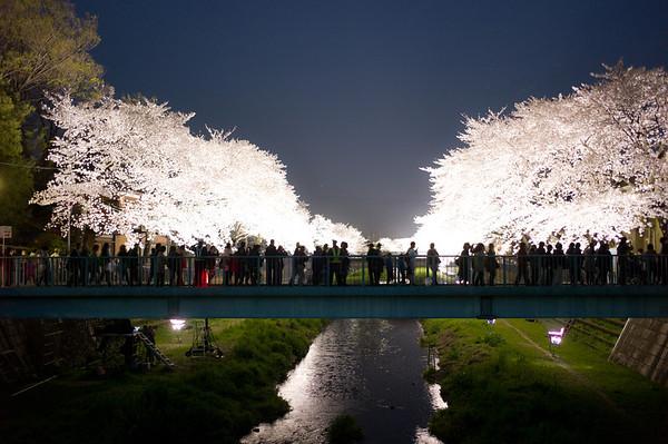 Sakura light-up, Tokyo