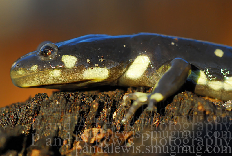 Juvenile California tiger salamander from the lake Lagunita population, Stanford, CA. This is an endangered species. February 2009.