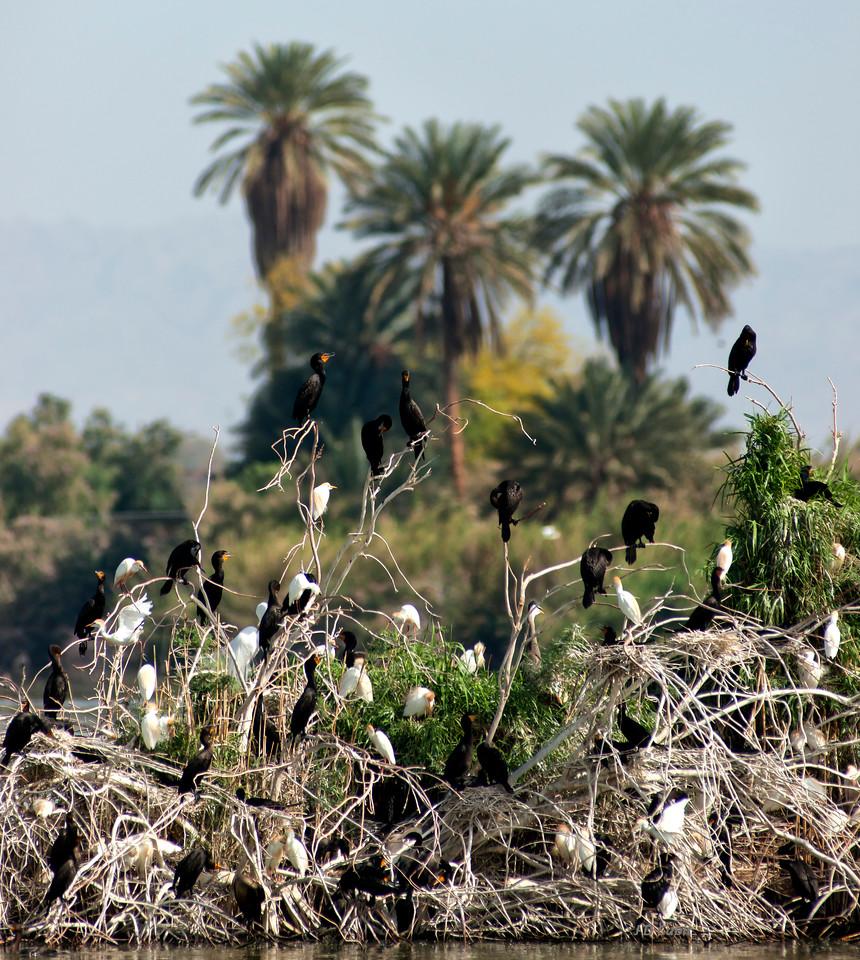 Cormorants and Egrets Nesting.