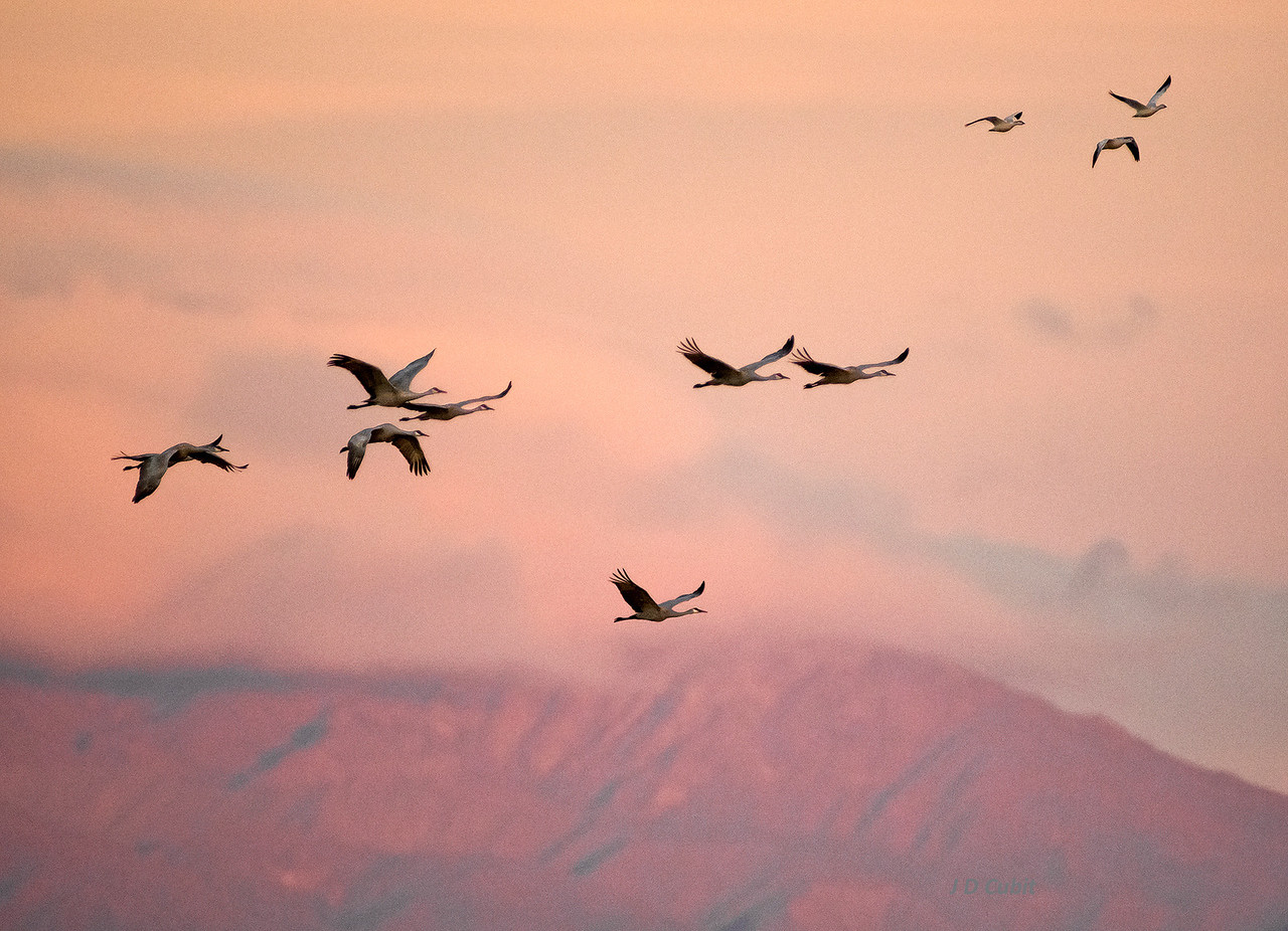 Early dawn flight of sandhill cranes and geese, with the Santa Rosa Mountains and approaching storm in the background.