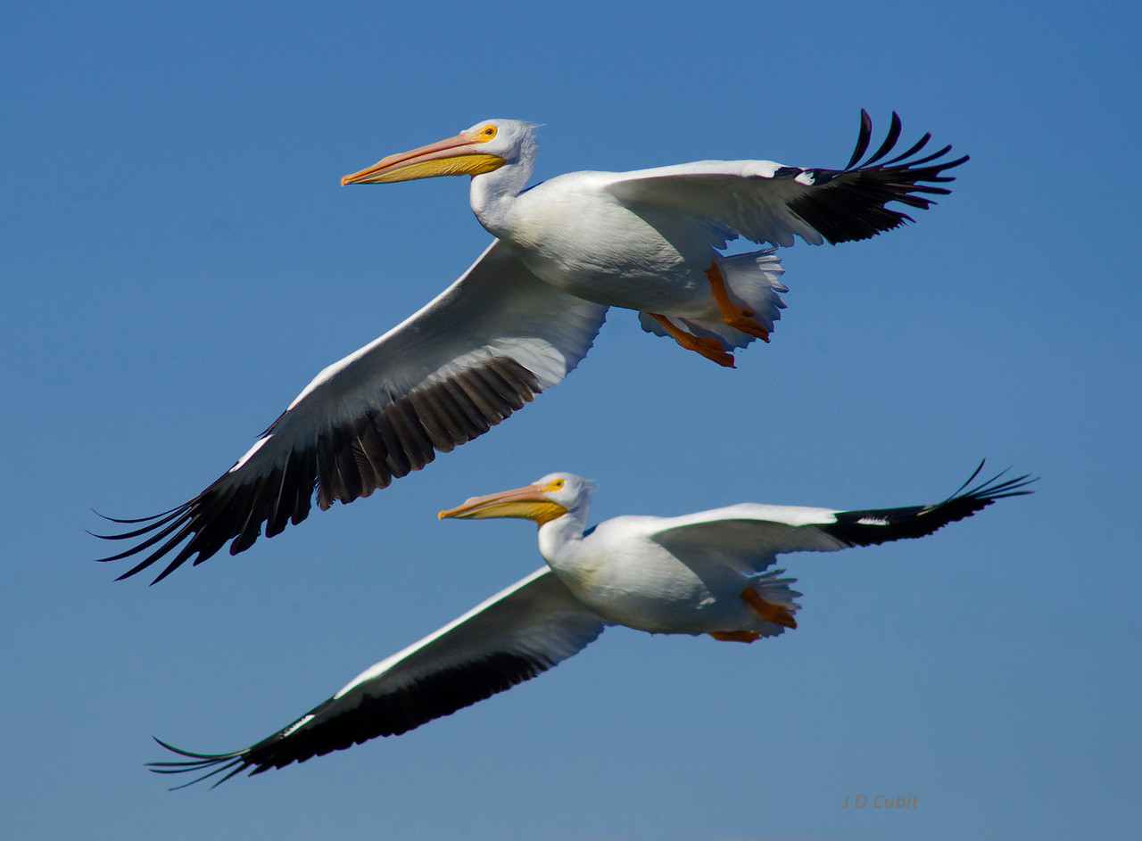 American white pelicans in close formation flight.