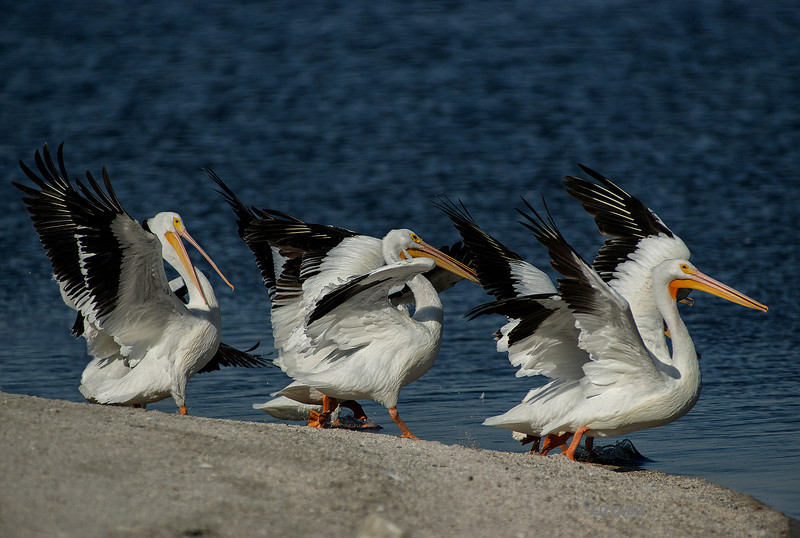 American white pelicans marching down the shore of the Salton Sea.