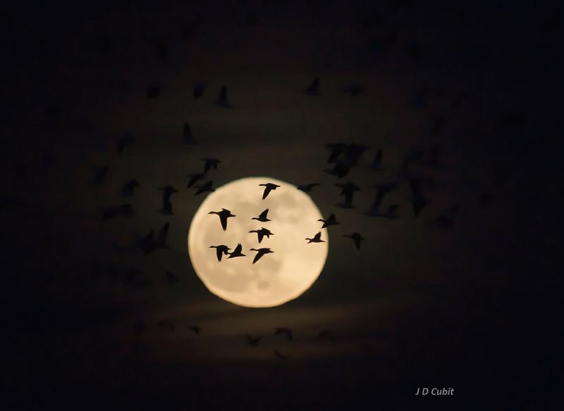 Snow geese, winter moon 1.