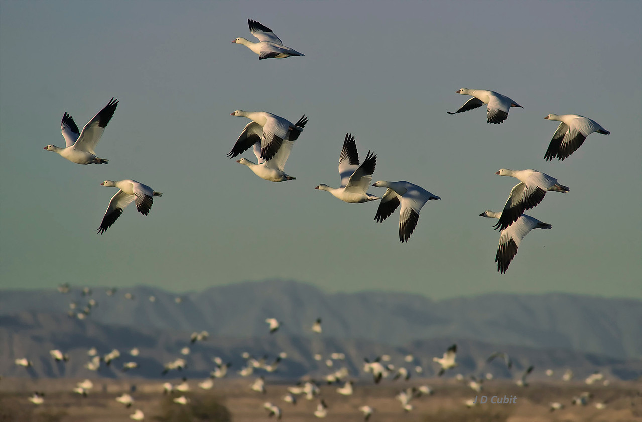 Geese in morning take-off from ponds at the Salton Sea, Sonny Bono National Wildlife Refuge.