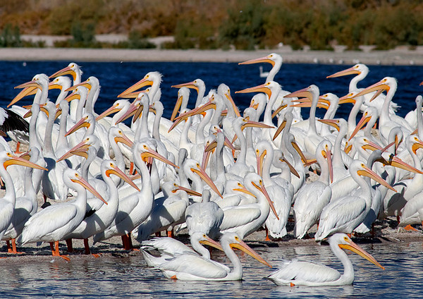 American white pelicans over-wintering at the Salton Sea.