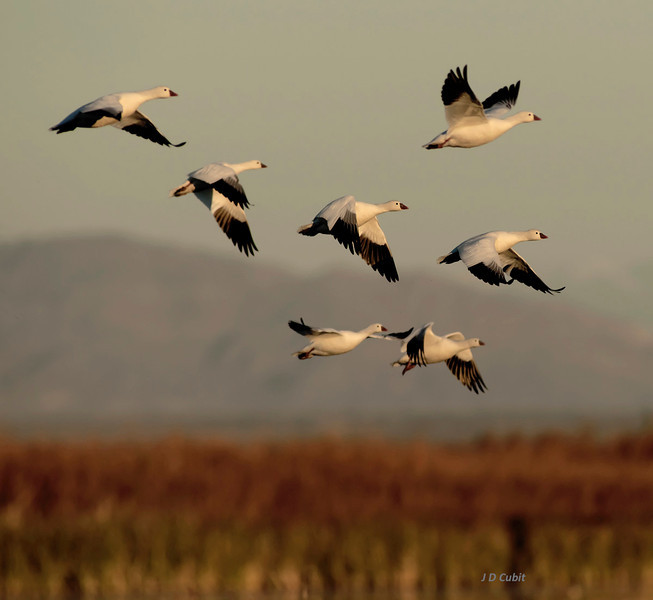 Geese in dawn lift-off, Sonny Bono National Wildlife Refuge.