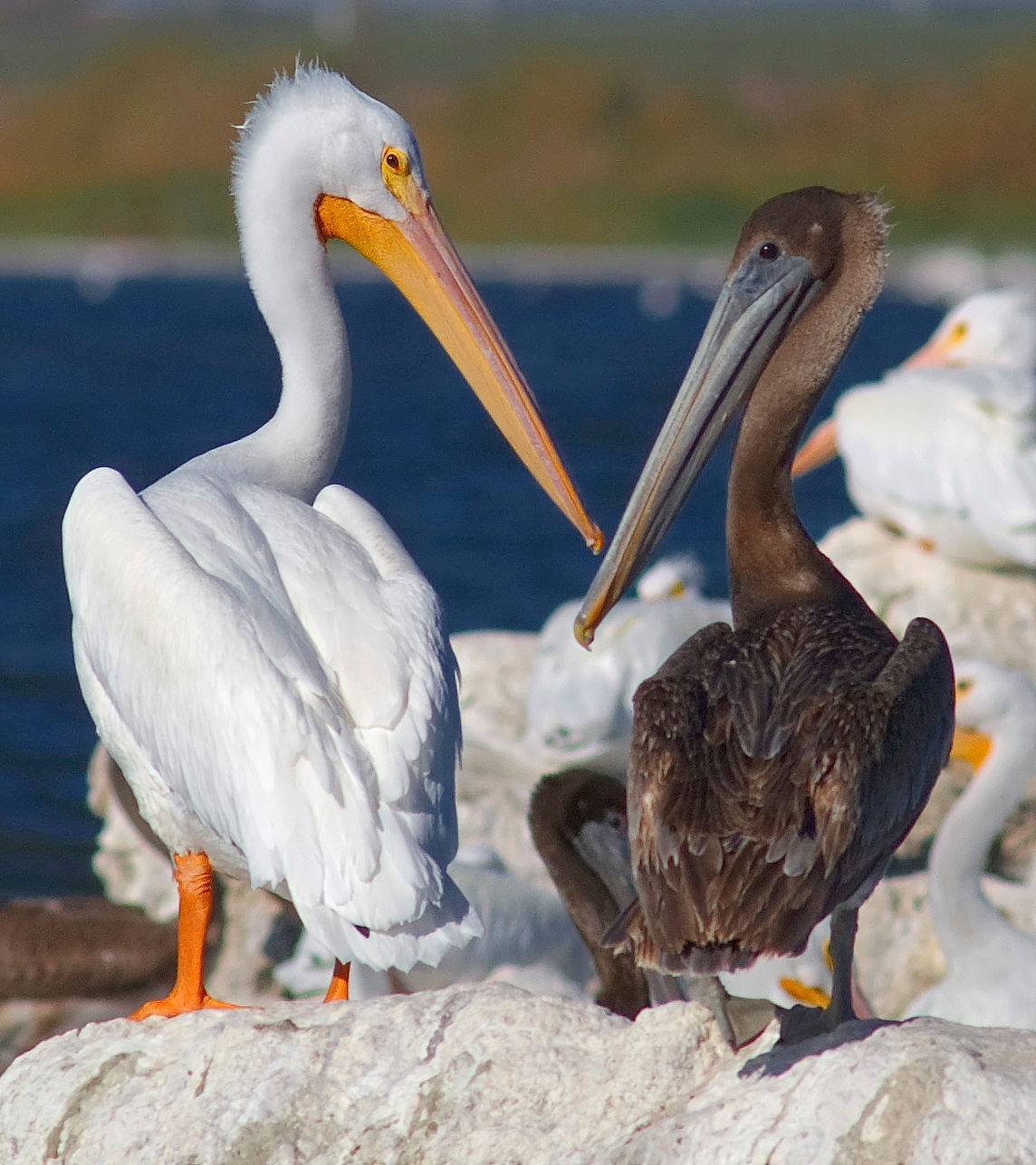 American white pelican and California brown pelican, Salton Sea.
