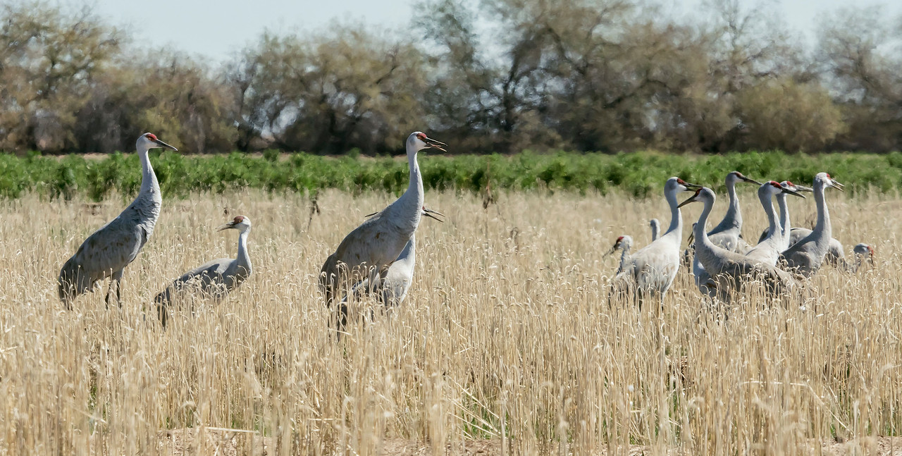 Lesser and Greater Sandhill cranes foraging in wheat fields.