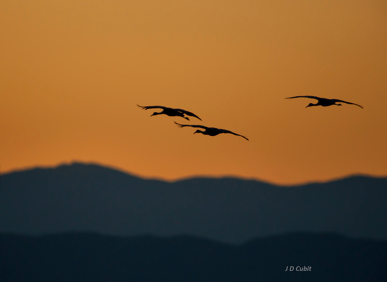 In the late evening, sandhill cranes return to  their overnight roosting pond in the Sonny Bono National Wildlife Refuge  at the edge of the Salton Sea