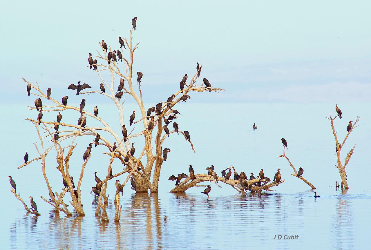 Cormorants, Salton Sea.
