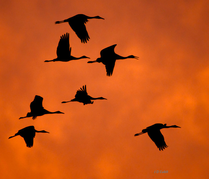 Against a background of storm clouds lit  by the setting sun, sandhill cranes arrive at their overnighting ponds in the Sonny Bono Wildlife Refuge.