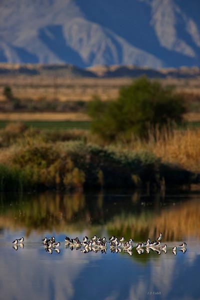 Black-necked stilts resting in shallow water in the Sonny Bono National Wildlife Refuge.