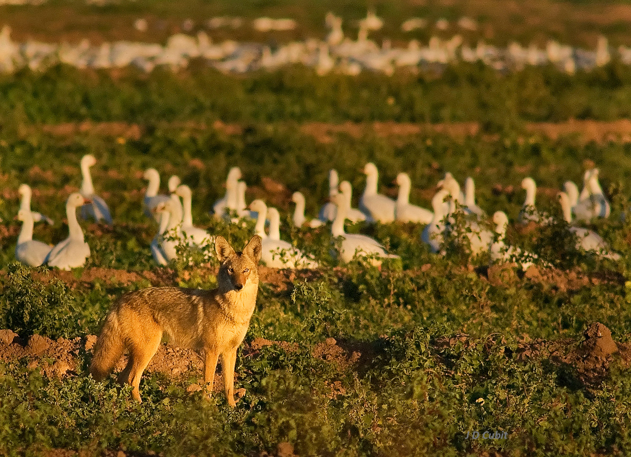 Coyote with geese, late afternoon.