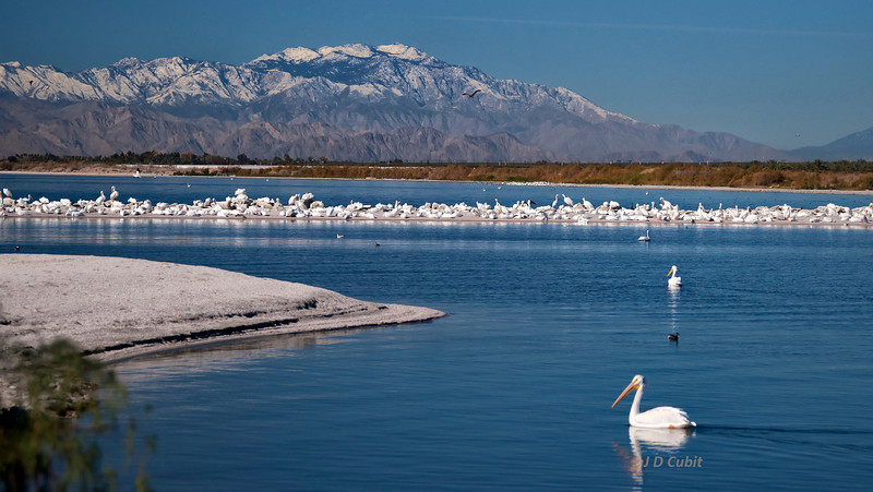 A scene now gone:  Masses of American white pelicans (Pelecanus erythrorhynchos) at the Salton Sea.
