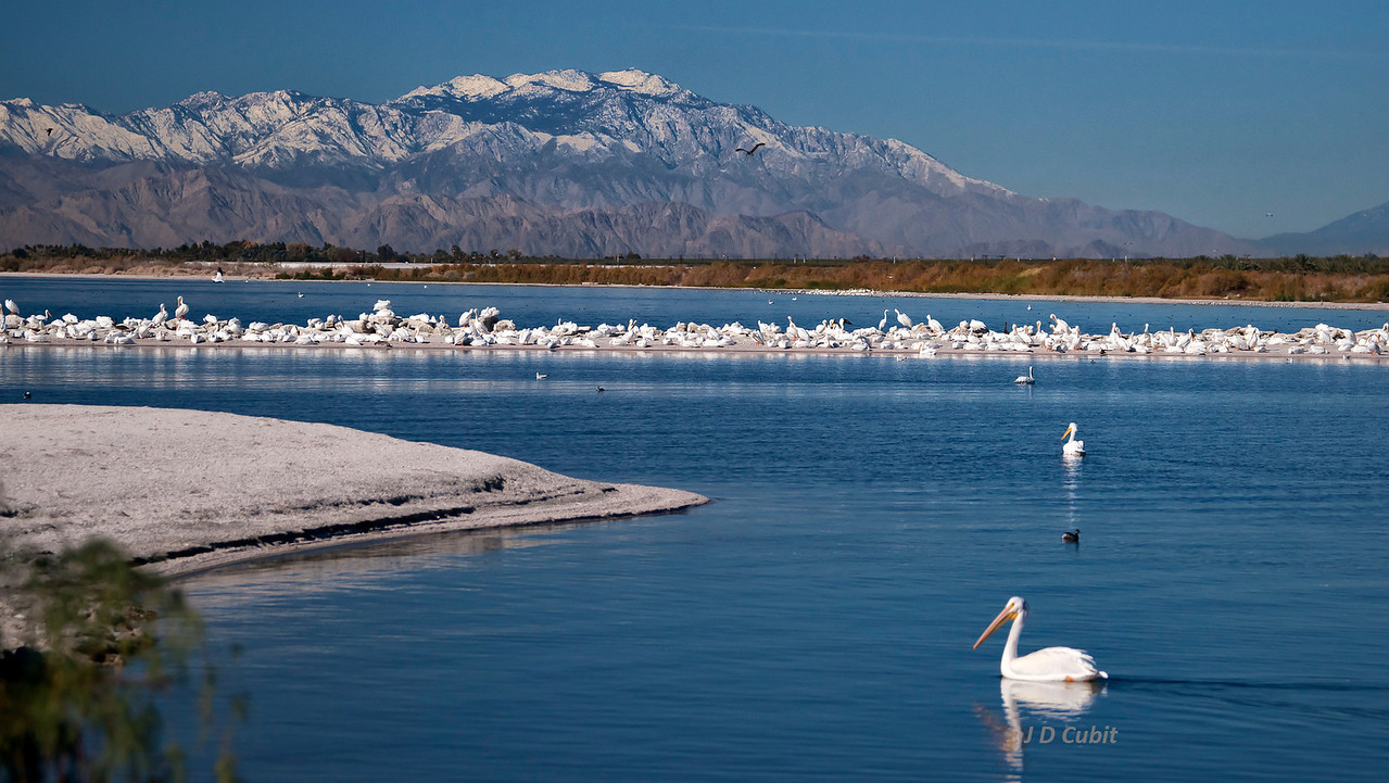 American white pelicans (Pelecanus erythrorhynchos) at North Shore, Salton Sea, with the Santa Rosa mountains in the background.