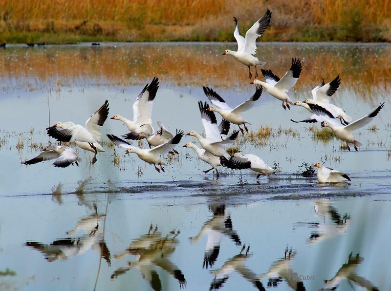 Overwintering geese at the Salton Sea:  Sonny Bono National Wildlife Refuge.