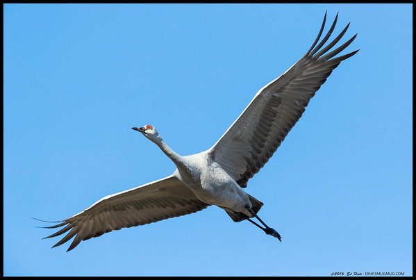 One of the Sandhill Cranes making a close pass by me.