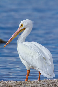 White Pelican - There were about a dozen either sitting on the shore or paddling through the water at the north end of the Salton Sea.