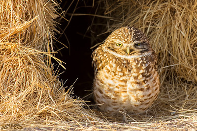 Who says burrowing owls have to to burrow in the dirt?  This one found a nice, but temporary, home to hang out in between a couple of hay bails.  This is about as wide open as the eyes ever got.