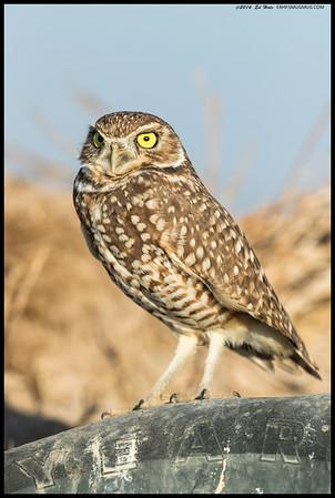 Spare Tire Owl
