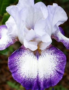 White and Blue Iris