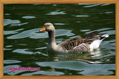 duck1 copy