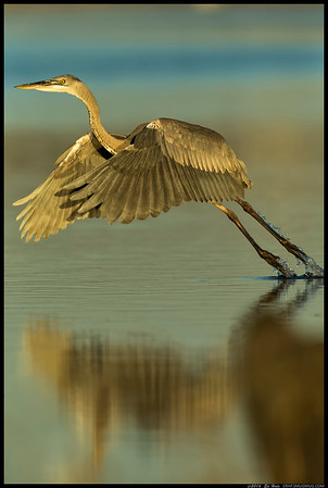 A Great Blue Heron on liftoff during the golden hour.  Trying to catch the reflection but a little too much movement in the water still.