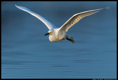 Last flight out for the evening as this Snowy Egret flies down the San Diego River.