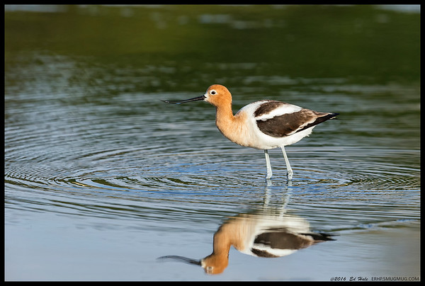 American Avocet in breeding plumage.