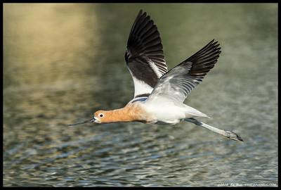 An American Avocet in breeding plumage flying by me.