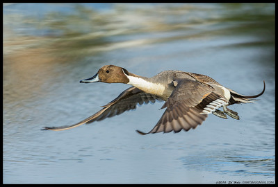 One of the last Northern Pintails making a break for it.