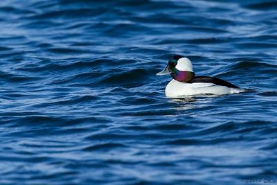 Bufflehead Duck - Male