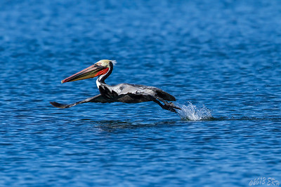 A Brown Pelican in breeding plumage takes off from the bay in search of another meal..