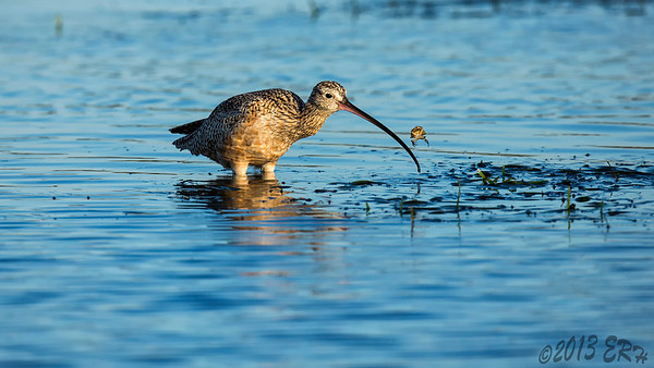 """Look Ma, No Bill""  Long Billed Curlew playing with its supper."