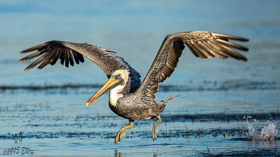 Brown Pelican doing short hops over the grassy patches at low tide.