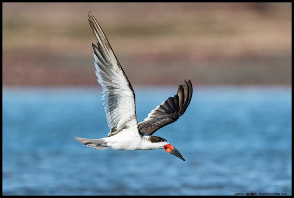 Black Skimmer in between runs.