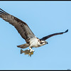 Papa Osprey bringing home some dinner.