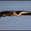 Sunset glide of a Great Blue Heron.