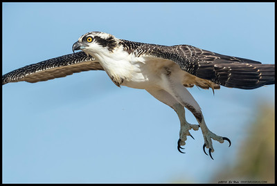 A split second after takeoff and the first down beat of the wings hits the midway point for this juvenile Osprey.