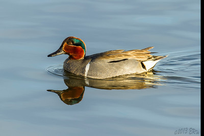 Green Winged Teal heading for a dabbling spot.