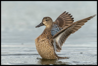 Female Blue Winged Teal stretching her wings after an all you can eat dabblefest.