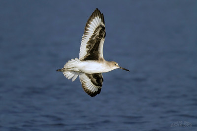 Willets aren't the most exciting looking of birds but when in flight, the sharp contrast of the wings make them a bit more so.