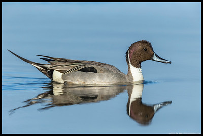 Northern Pintail heading for the open waters.
