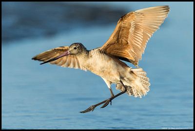 Marbled Godwit coming in for a landing.
