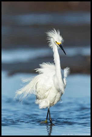 Snowy Egret letting everyone know who is in charge.