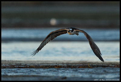 This osprey sat on a mudflat for a while before taking off, though less than a pair of wingbeats after this shot, there was a course change almost directly towards me as a pair of crows attacked it.  Flew within 7-8 feet of me followed closely by the crows.