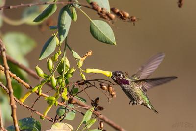 Anna's hummingbird refueling at a tobacco tree.