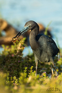 Little Blue Heron showing off the newest catch.